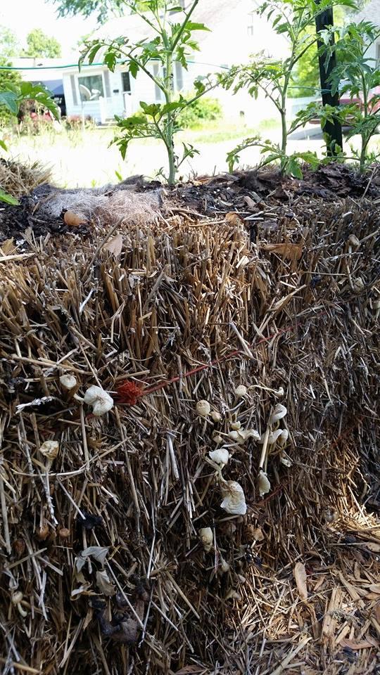 bales mushroom